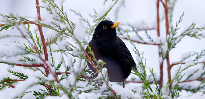 Brr… Here are the Blackbird's days: history and curiosities of the coldest period of the year.